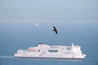 Common Raven Corvus corax adult, in flight, over sea with cross_channel ferry, Dover, Kent, England, may