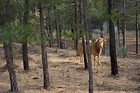 Domestic Cattle, cow, standing in pine woodland, Yeste, Sierra de Segura Mountains, Castilla la Mancha, Spain, january