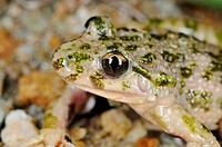 Common Parsley Frog Pelodytes punctatus adult, close_up of head, Italy