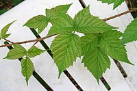 Bramble Rubus fruticosus leaves and stem, growing over chair in overgrown garden, Suffolk, England, august
