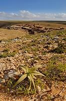 Aloe plants in desert habitat near village, Socotra, Yemen