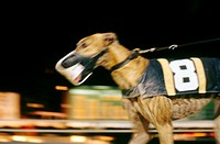 Blurred Greyhound Racing Dog  Naples/Ft  Myers track in Florida, USA