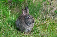 European rabbit Oryctolagus cuniculus in meadow, Germany
