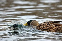 Mallard Anas platyrhynchos drakes chasing and fighting on lake, Germany