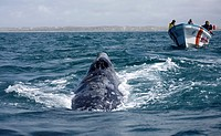 A gray whale swims toward tourists in Ojo de Liebre Lagoon near the town of Guerrero Negro in Mexico's southern Baja California state. The Gray Whale ...