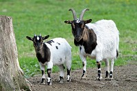 Domestic Goat, kid or young animal with mother, Germany