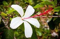 A native Hawaiian Hibiscus Arnottianus flowers on a cloudy day, .