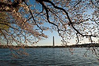 Japanese Yoshino Cherry Prunus x yedoensis trees , blossom on the tidal basin, Washington Monument in back ground.