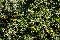 Orange blossoms,ripe oranges,Catania,Sicily,Italy