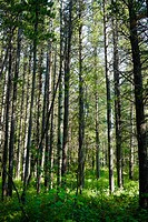 Green Summer Forest Banff Canada