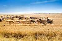 sheep herd, Zamora Province, Castile and Leon, Spain