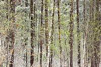 Spring woodland in snowstorm. Ontario. Canada.