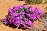 Lampranthus sp , Namaqualand, South Africa