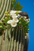 Gila Woodpecker Melanerpes uropygialis - Sonoran Desert - Arizona - Feeding on nectar and insects in the Saguaro cactus blossom - helps pollinate cact...