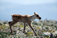 A one week old fawn crosses a rocky area, Mont Jacques_Cartier, Gaspesie National Park, Quebec, Canada