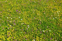 Austria, meadow, Bergwielse, nightmare meadow, flowers, grass