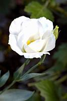 White Lisianthus flower  Scientific name: Eustoma Grandiflorum