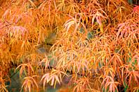 Colourful Koto No Ito, Japanese Maple Tree in the Fall