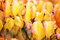 Beautiful Autumn Leaves of the Cornus Kousa