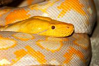 ALBINO RETICULATED PYTHON python reticulatus