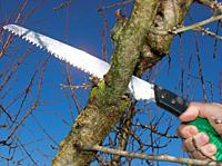 Sawing an almond tree branch