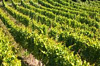 Rows of ripening vines in South West France Europe
