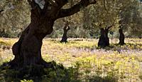 Olive trees around Soller, Majorca, Spain