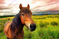 Beautiful horse on Scottish meadow