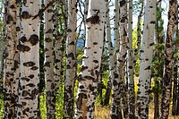 Grove of Colorado aspen trees