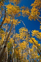 Looking up at the golden leaves in the treetops of a Colorado Rocky Mountain National Park aspen tree grove