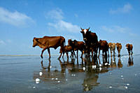 A cattle drive through the Kuakata beach in Patuakhali, Bangladesh September 11, 2009 Kuakata, locally known as 'Sagar Kannya' or daughter of the sea,...