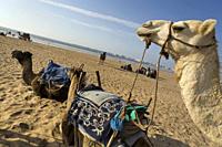 Kamelen ruhen sich aus am Strand, Atlantischer Ozean, Essouira, Morokko, Africa