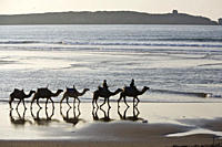 Camel train on the beach, Atlantic Ocean, Essouira, Morocco, Africa