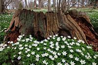 wood anemone Västervik Sweden.