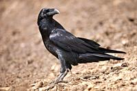 Raven Corvus corax on the floor, Lleida, Spain