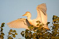 Cattle Egret Bubulcus ibis at S'albufera, Majorca, Spain