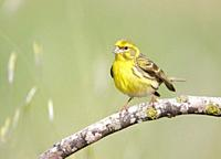 Serin Serinus serinus on a branch, Majorca, Spain