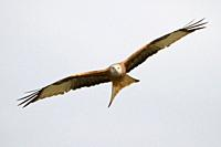 Red Kite Milvus Milvus flying, Lleida, Spain