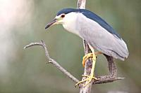 Night Heron Nycticorax nycticorax on a branch, Alcudia, Majorca, Spain