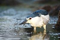 Night Heron Nycticorax nycticorax on the water, Alcudia, Majorca, Spain