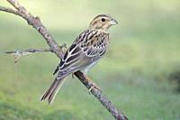 Corn Bunting Miliaria calandra on a branch, Majorca, Spain