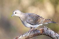Young Turtle Dove at branch , Majorca, Spain