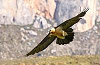 Bearded Vulture Gypaetus barbatus flying, Lleida, spain