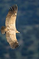Griffon Vulture Gyps fulvus flying over Monfrag&#252;e, Caceres, Extremadura, Spain