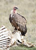 Griffon Vulture Gyps fulvus on a caw skeleton, Lleida, Spain