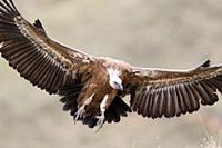 Griffon Vulture Gyps fulvus flying, Lleida, Spain