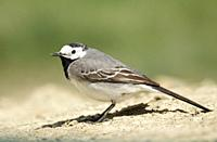 White Wagtail Motacilla alba on the floor, Spain