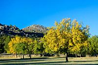 Yellow ash Fraxinus excelsior in autumn, in the Sierra de Valdesangil, next to Sierra de Béjar, Salamanca province, Biosphere Reserve of Sierra de Béj...
