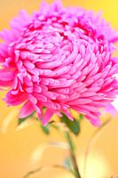Beautiful Bright Pink Aster Portrait