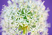Beautiful Mount Everest Allium Close Up in a Soft Contemporary Style